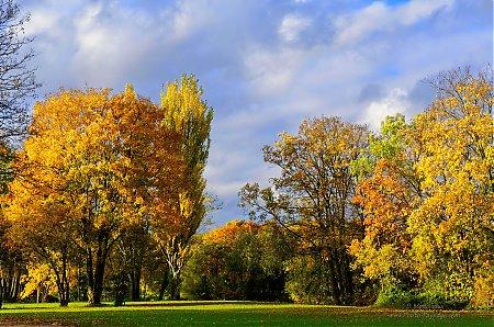 arbre érable champêtre