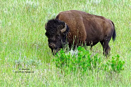 Bison_dans_le_parc_national_de_Yellowstone.jpg