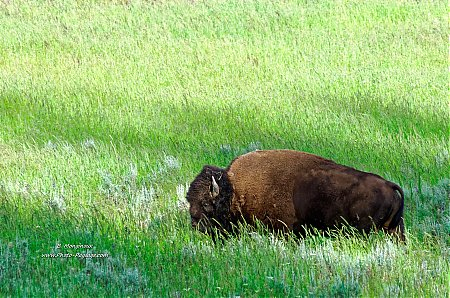Bison dans une prairie de Yellowstone