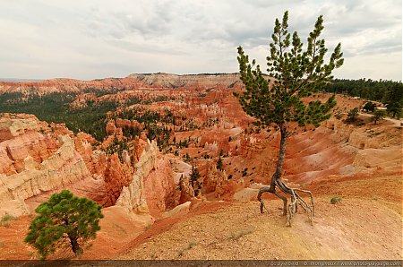 Bryce-Canyon---Sunrise-Point---un-arbre-au-bord-de-la-falaise.jpg