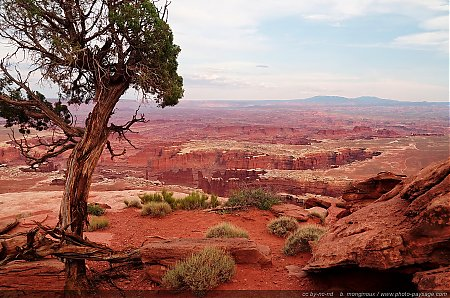 Canyonlands  - un arbre au bord du precipice & face à un panorama grandiose