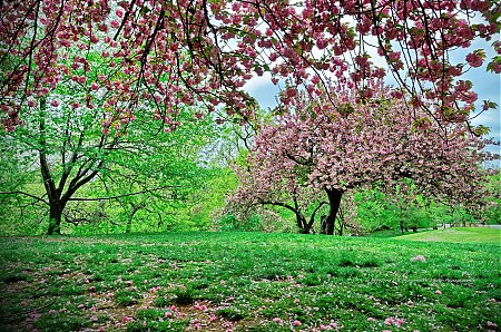 Cerisiers en pleine floraison dans Central Park