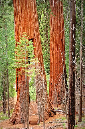 Clothespin-Tree---Yosemite-National-Park_2.jpg