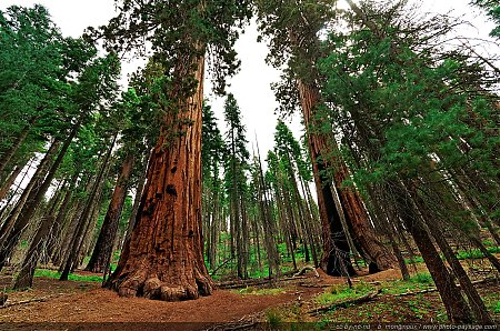 Clothespin-tree-sequoia-Yosemite-Mariposa-Grove.jpg