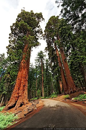 Faithful-couple-Yosemite-sequoia-Mariposa-Grove.jpg