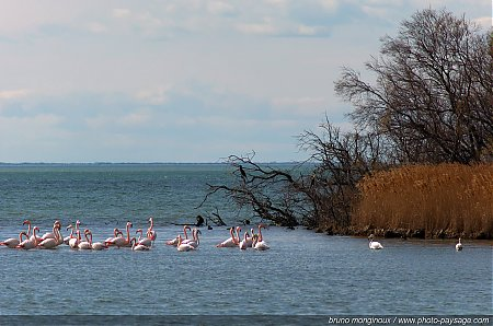 Flamants_roses_en_camargue_-01.JPG