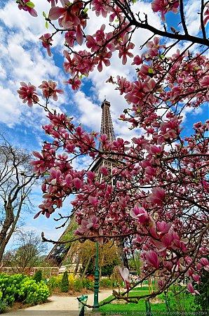 nom du fichier magnolias en fleurs au pied de la tour eiffel du fichier. Black Bedroom Furniture Sets. Home Design Ideas