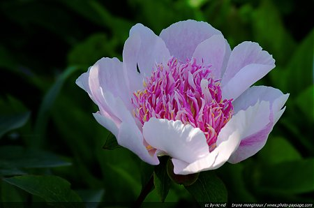 Pivoine - Do Tell [Paeonia Lactiflora] - 02