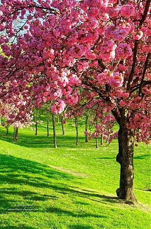 Printemps photo paysage com - Greffe du cerisier au printemps ...