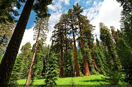 Sequoias-geants.jpg