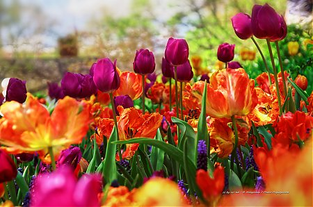 Tulipes-dans-Central-Park---1.jpg