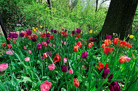 Tulipes-dans-Central-Park---2.jpg