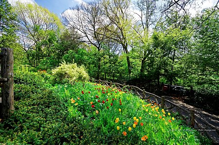 Tulipes-dans-Central-Park---3.jpg