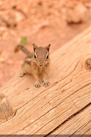 Un chipmunk (tamia)