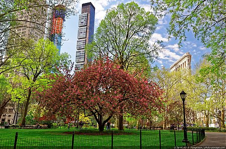 Un arbre en fleurs dans le Madison Square park