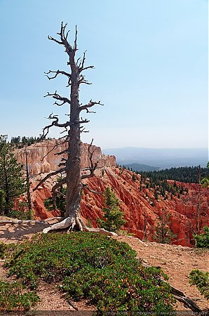 Un arbre foudroyé à Bristlecone loop