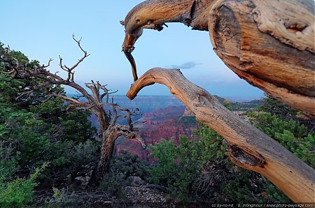 Un arbre mort au bord du Grand Canyon