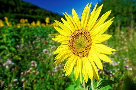 fleurs de tournesol - photo-paysage